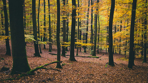 forest with yellow autumn leaves on trees, and brown leaves covering the forest floor