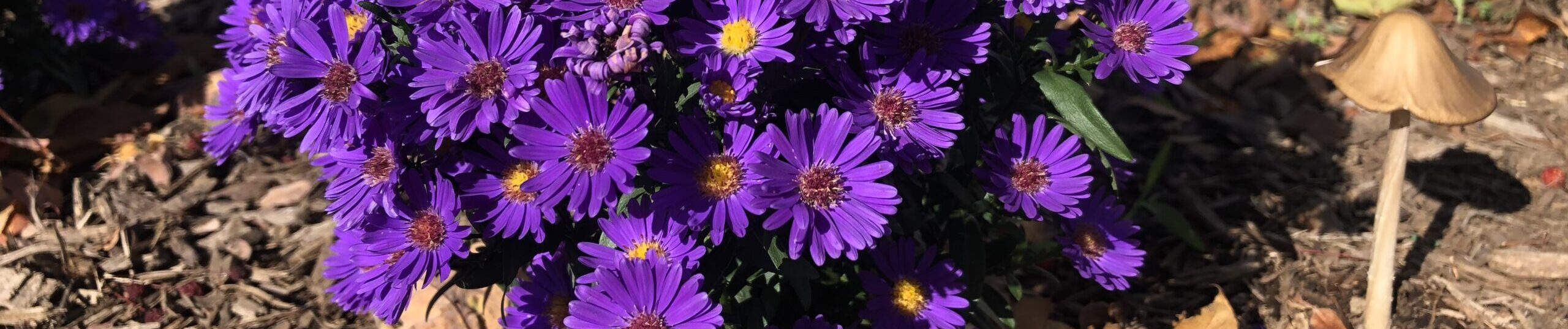 strip of photo of bright purple miniature aster with small mushroom growing beside it.