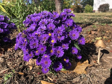 Tiny aster plant covered with purple blossoms, with a tinier mushroom growing next to it