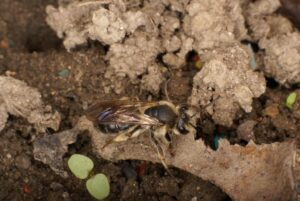 Close-up photo of a solitary ground-dwelling bee, dark brown abdomen with golden fuzz rimming head & thorax, sitting on a tan fragment of wood or bone, dark soil and some lighter crumbly material underneath and in background, and the initial leaves of a dicotyledonous seedling below and slightly behind bee