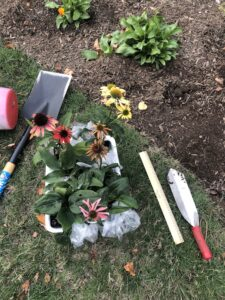 Garden tools laid out on lawn next to flower bed, along with several coneflowers ready for transplanting