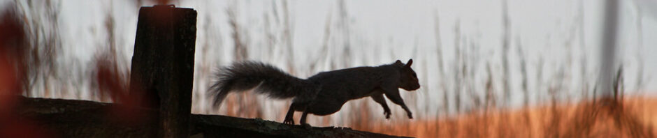 photo silhouetting a squirrel jumping along top of rail fence, with reddish tall grasses showing blurrily in background, against a gray-blue sky or building