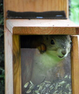 Young squirrel inside a wooden bird feeder with clear plastic face. The squirrel is standing on a couple inches of seeds, one paw and face poking out through the opening between the plastic front and wooden roof of feeder.