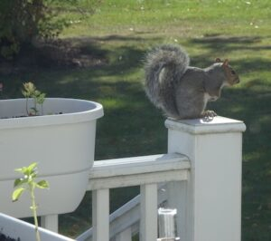 Gray squirrel in profile, perched on post of white deck railing; green lawn and some bushes in far background