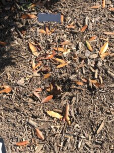 Area of light brown mulch, with scattered small yellow leaves on it, and a metal plant marker just behind a little hole in the ground