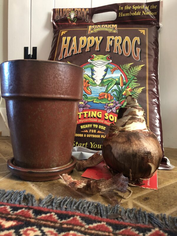 large amaryllis bulb beside tall brownish-red pot on a buff-colored linoleum floor with edge of oriental carpet in foreground; behind them, an unopened bag of Happy Frog potting soil