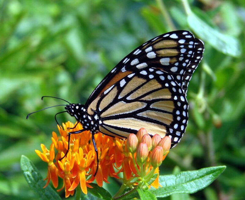 Closeup of monarch butterfly perched atop yellow and orange flower cluster of asclepias plant, a few small leaves under the flowers