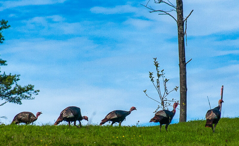 Five wild turkeys in a line on grass at top of a rise, with trees and blue sky showing behind them