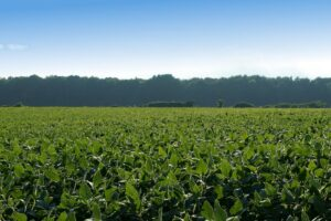 photo of bean field covering entire foreground, with line of woods in distance, bright blue sky