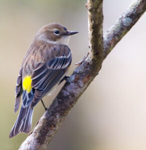 Yellow-rumped warbler, a grayish-brown bird with white throat and bright yellow patch on back rump, perched on a small tree branch running diagonally across the frame, from bottom left to top right