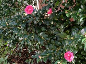 Sasanqua camellia plant with deep green shiny leaves, three deep pink flowers in bloom and many more buds showing
