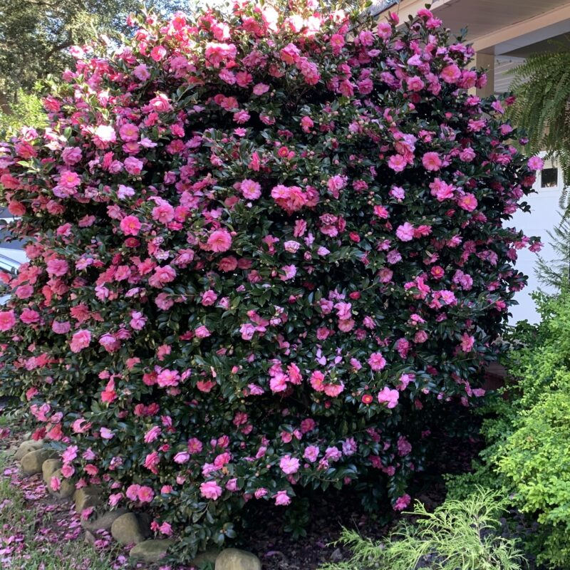 Sasanqua camellia in full bloom, dark green glossy leaves interspersed with bright pink blossoms, which nearly cover all the leaves towards the top of the bush; a few rocks bordering the edge of the bed at lower left, and some other greenery showing at the bottom right; strip of white garage door showing in background on right.