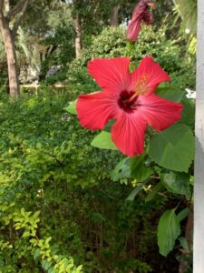 bright red hibiscus flower and a few hibiscus leaves, peeking from behind a white vertical strip of wood on far right of the frame; green hedge fills most of background