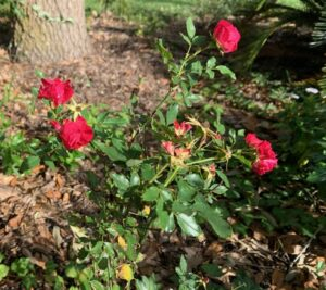 small rosebush with four red roses blooming, bottom of tree trunk showing in far background