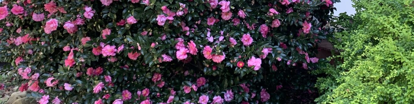 closeup shot of strip of sasanqua camellia bush in full bloom, dark green leaves with many bright pink blossoms, and a bit of other greenery towards the right.