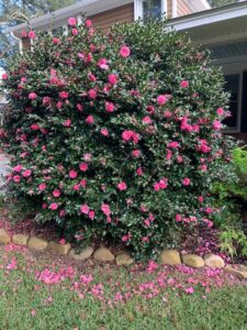 Sasanqua camellia bush in bloom, obscuring most of a house behind it; bright pink blossoms all through glossy dark green foliage, and a scattering of bright pink petals on the grass in front of the flowerbed