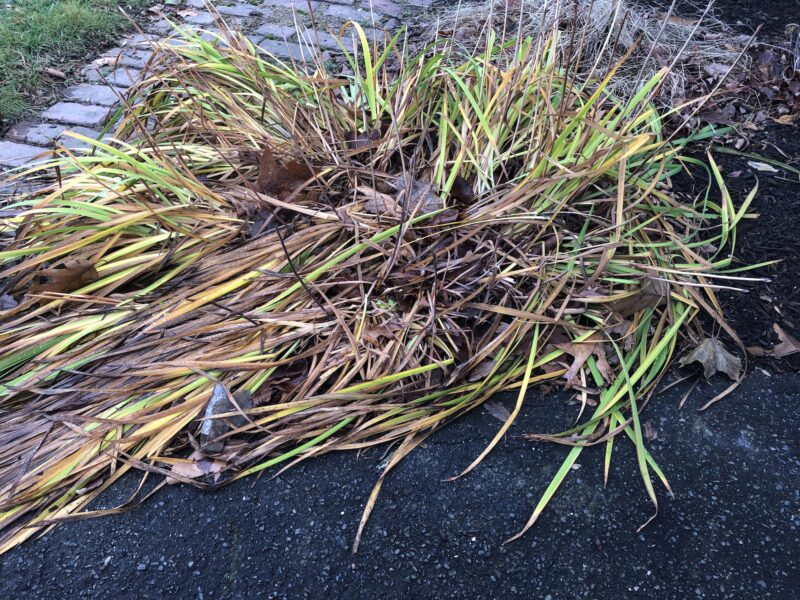 Foliage of siberian irises that have succumbed to frost: splayed out flat, and mostly brown with w few green leaves remaining