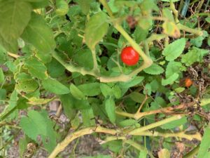 close-up shot of one red cherry tomato nestled among leaves on a withering cherry plant