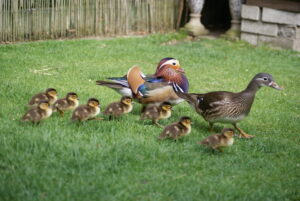 Two adult ducks on lawn with 8 fuzzy brown, white, and yellow ducklings