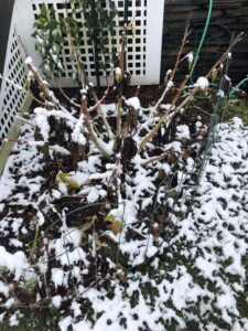 died-away perennial hibiscus plant in snow: about a dozen cut-back stems with a few dead brown leaves still hanging from them