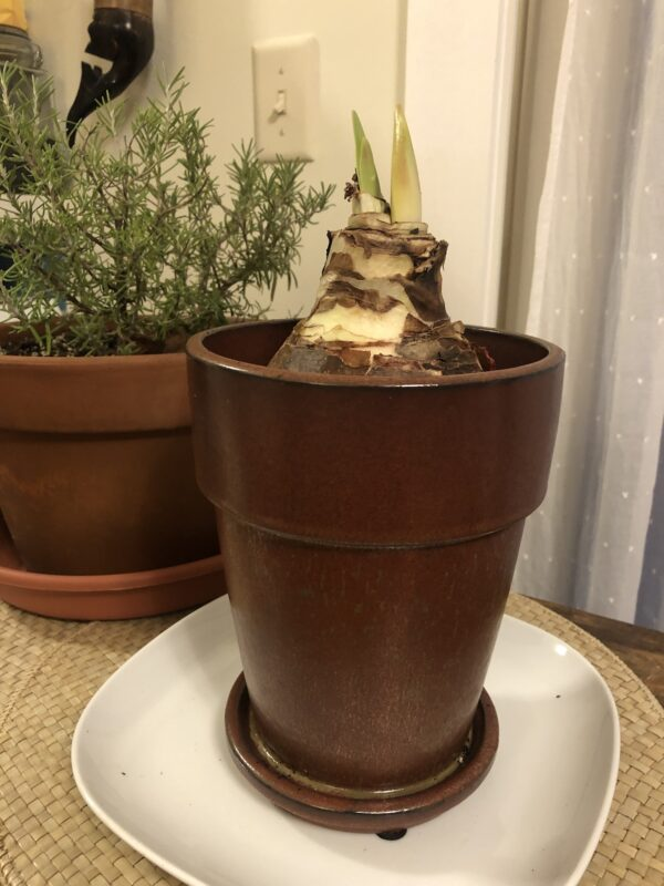 tall thin brown glazed pot atop a white plate, with top part of large amaryllis bulb showing, two green shoots already coming up; part of a potted rosemary plant in earthenware pot in background