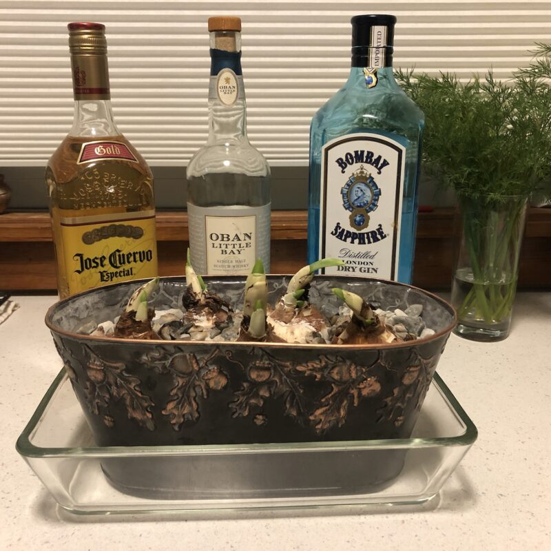 A metal planter containing several narcissus bulbs with inch-high green shoots, and behind the planter, bottles of tequila, scotch and gin