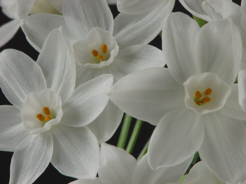 Closeup photograph showing three paperwhite narcissus flowers in full bloom with several dark yellow stamens showing inside the central cup of each