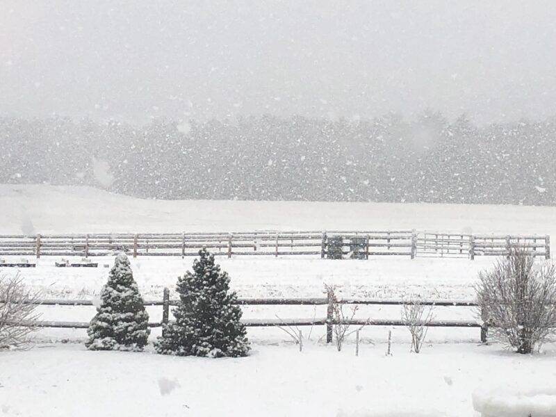Snowy scene with a couple of small evergreens and some bare bushes in foreground with rail fence just behind them, and in background a snow-covered landscape with a more distant fence across it, and a line of woods in background obscured by falling snow, gray sky above