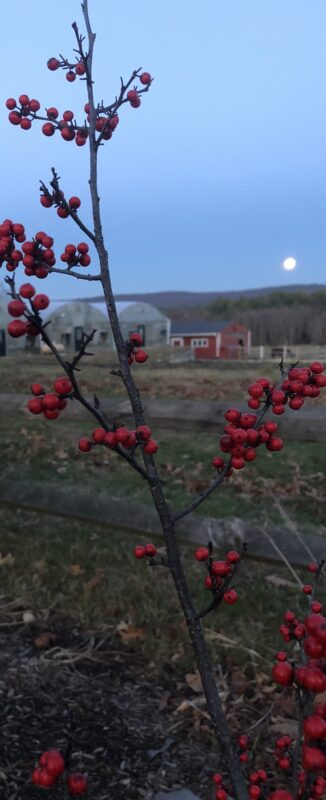 Leafless upright winterberry branch with bright red berries in foreground, with horizontal rails of fence just behind, some field and unfocused farm buildings in background, and a low rising moon just above some wooded hills, darkening blue sky above