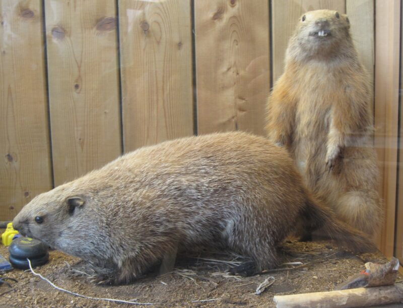 Museum display case of two woodchucks (taxiderm'd specimens), one on all fours and one standing upright