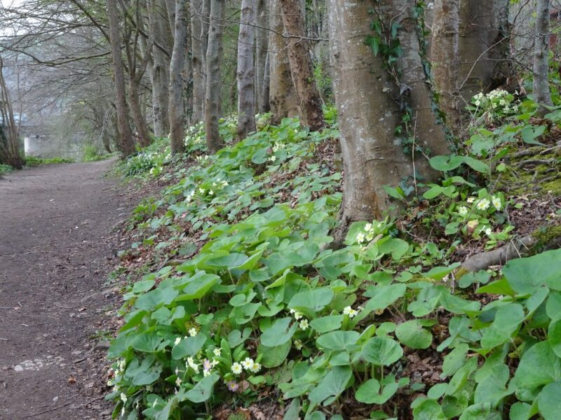 A woodland path along the left side of photo, with the right four-fifths of the frame filled with tree trunks under which the ground is covered with low green-leaved plants sporting small white and yellow flowers
