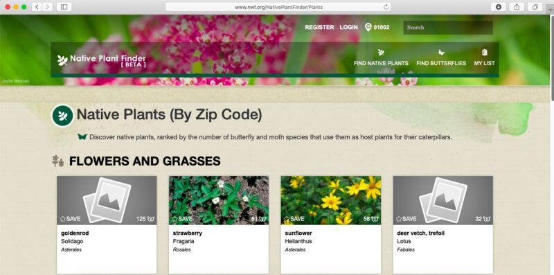 """screenshot of front page of website https://www.nwf.org/NativePlantFinder, with a header photo, unfocused, depicting clusters of bright pink flowers and bright green stems and foliage; under the header (labeled Native Plant Finder [BETA]), a heading for Native Plants (By Zip Code), a subheading """"Flowers and grasses,"""" under which are boxes for goldenrod, strawberry, sunflower, and deer vetch; two of them have photos showing the flowers, and all show how many species of butterflies and moths feed on the plant"""