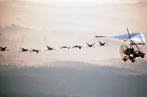 A line of whooping cranes flying behind an ultralight aircraft (heading from left to right of photo frame), against a misty background of wooded hills fading from very dark gray at bottom to light orangey-gray at top