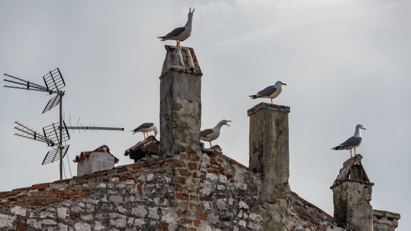 Seagulls on roof and chimney; apparently old house with top of brick and stone wall just beneath a red-tiled roof; a few TV (?) antennae on left incline of roof