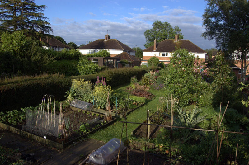 Photo of a British backyard vegetable garden with profusion of plants in wood-bordered beds, hedges along the left and small trees in background, with houses beyond