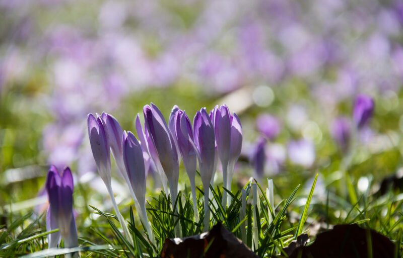 close-up photo of several lavender crocus blossoms not quite open, above dark green spikes of foliage; unfocused background of more such crocuses; in the foreground a couple of dark brown fallen leaves