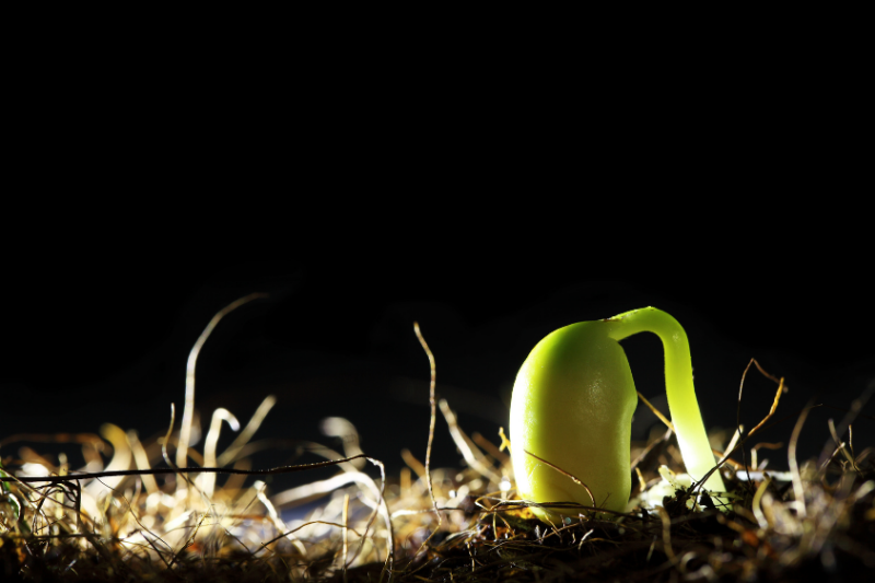 close-up of sprout arching out of ground, with seed still attached at its end