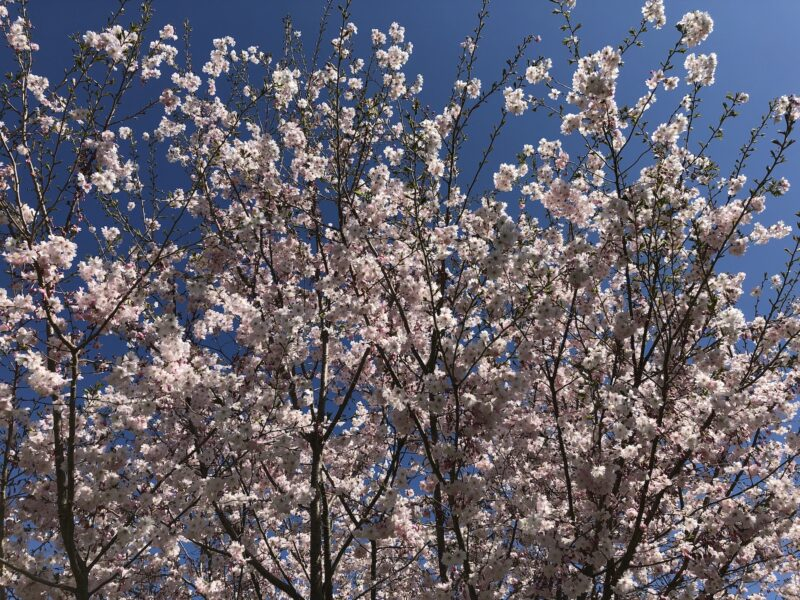 a flourish of pink cherry blossoms, seen from below against a bright blue sky