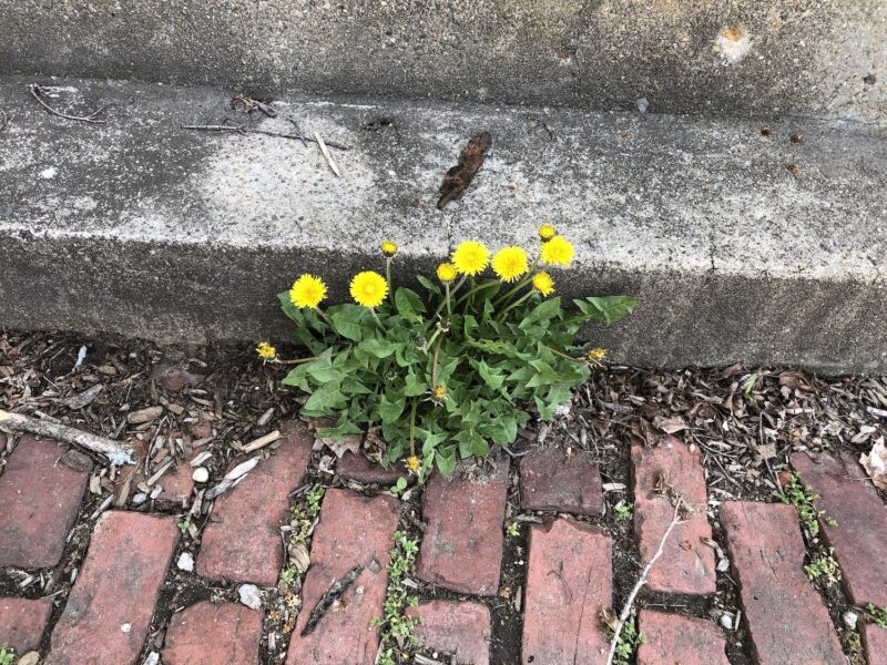 A large dandelion plant with five bright yellow blossoms and a few buds, growing out of a brick walk against a cement stoop