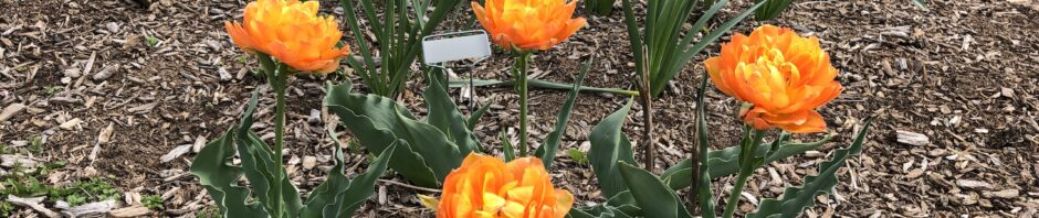 four bright orange tulips blooming against background of bark mulch, with a few creeping weeds at lower left