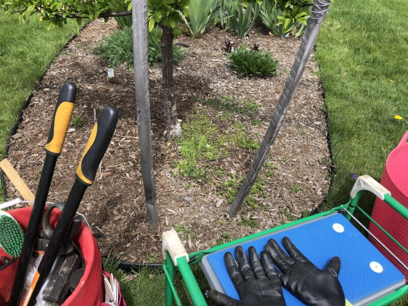 Portion of mulched garden bed with small tree trunk in center and leaves of perennial flowers in background; in foreground, a half-weeded section of bed with clean mulch to left of trunk and a spread of weeds to its right; gardening tools, gardening stool and gloves in foreground