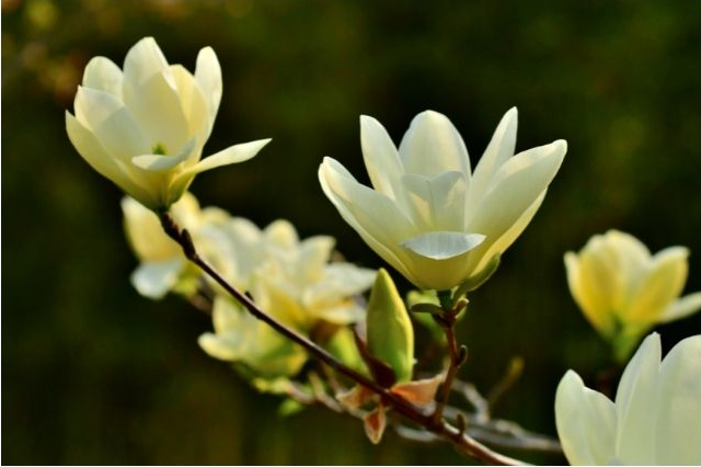 Several lemony-yellow magnolia blossoms at end of a branch, with dark greenish-black background