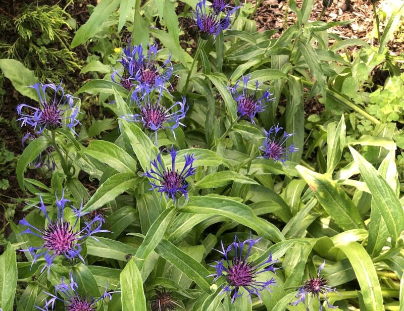 violet-blue cornflowers seen from above, against a mass of chartreuse-green foliage