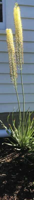 Two stalks of yellow foxtail lilies in bloom against a white clapboard background; spiky green foliage spreads far below where the flower heads begin