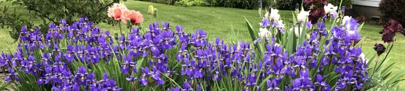 A swathe of spring flowers: purple Siberian irises in foreground, with a few taller light bearded irises and bright crimson poppies in background
