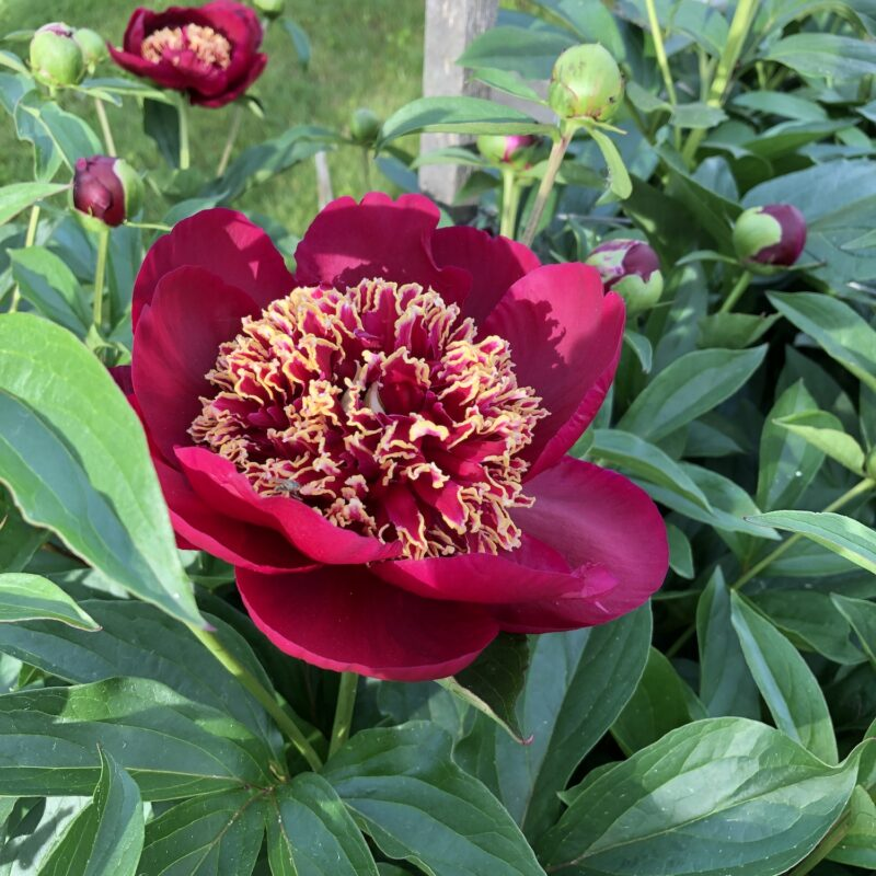 closeup of a bloom of Peony 'Charles Burgess,' a deep red-petaled flower with luscious center filled with gold-tipped red staminoides