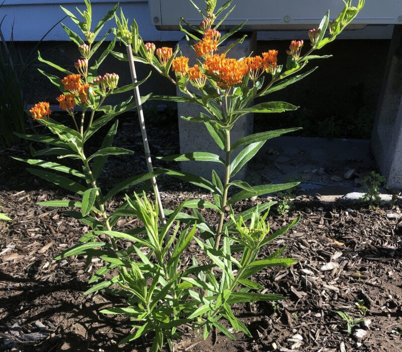 Asclepias tuberosa (butterfly milkweed) in bloom, with clusters of bright orange flowers atop stems with foliage, alternating long thin pointed green leaves, against a background of brown mulch and gray cinderblocks
