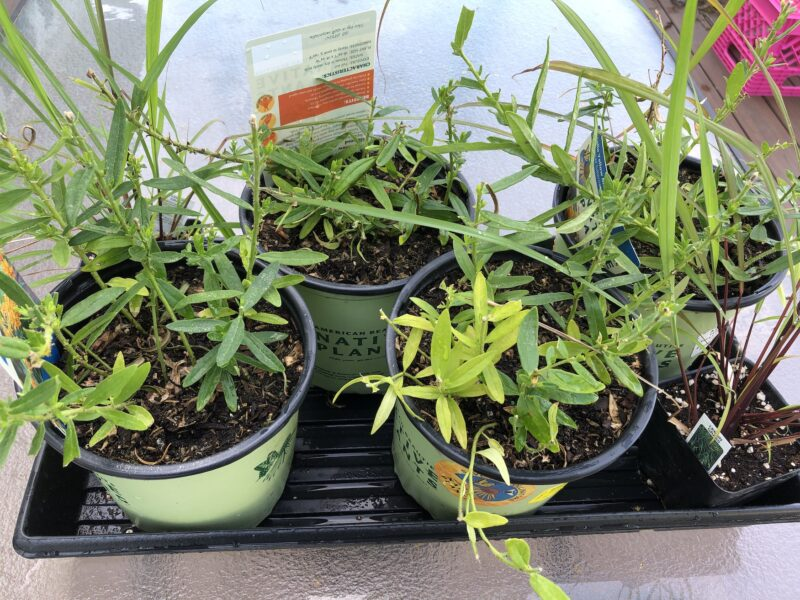 """Four pots of Asclepias tuberosa after something munched them down by half; pots are light green plastic with black rims, a couple of them showing dark green script reading """"Native plants."""" Pots are in a black plastic plant tray atop a glass table top, and parts of two lemongrass plants in smaller black pots can be seen nestled in two corners of the tray,"""