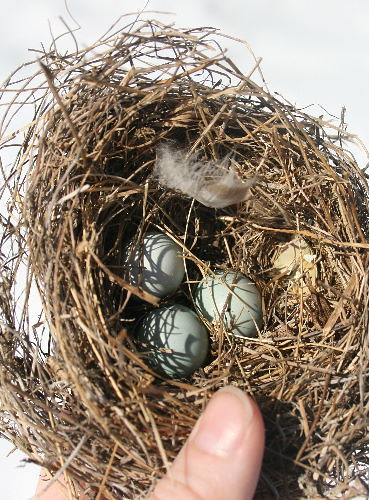 An Eastern bluebird nest made of grasses interwound and containing three pale dusty-blue eggs, each about thumb size, as shown by the thumb on top of the nest at bottom of the photo