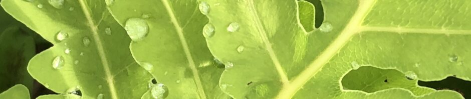 closeup of underside of fern leaf, bright green with a few drops of water scattered on it